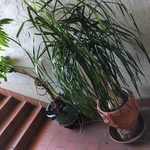 healthy outdoor potted plants